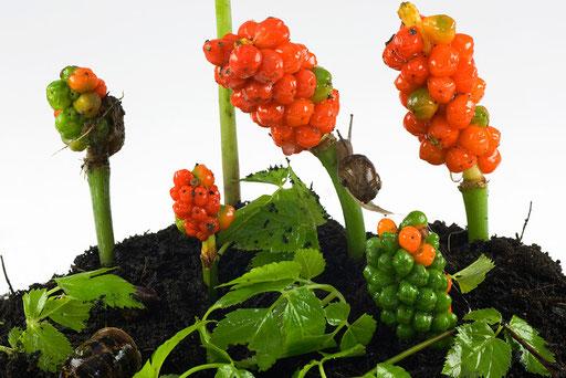 Herbier vivant, Arum Gouet, Arum maculatum, © Annick Maroussy