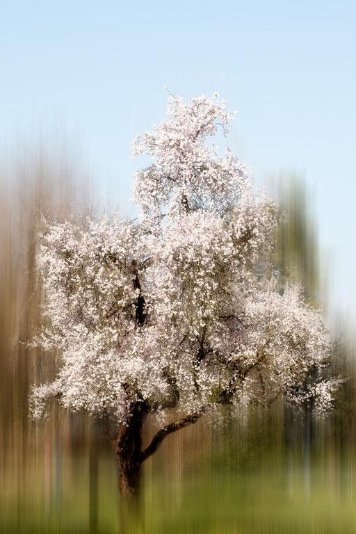 Amandier, Prunus dulcis, Famille des Rosacées. © Annick Maroussy