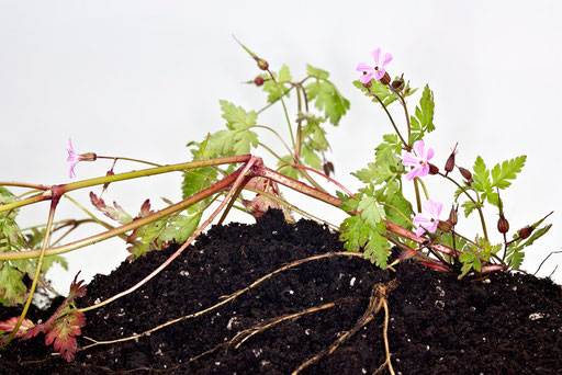 Herbier vivant, Géranium Robert, Geranium robertianum, © Annick Maroussy