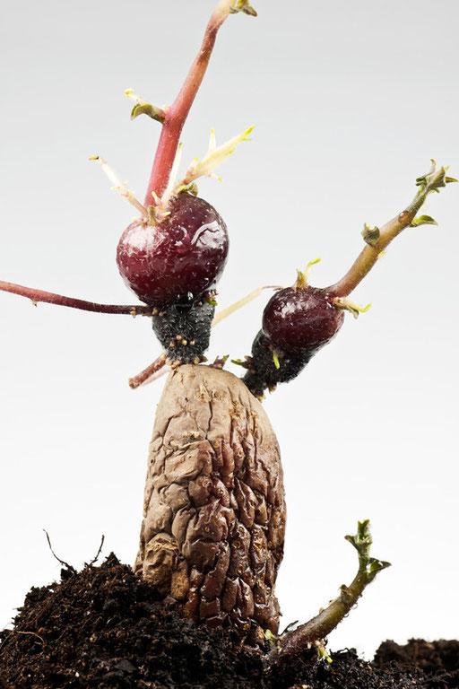 Herbier vivant, Pomme de terre germée, Solanum Tuberosum, © Annick Maroussy