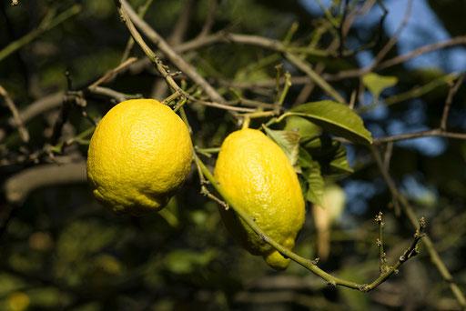 Citrus, Citronneraie du mas Flofaro, 06 MENTON (© annick maroussy)