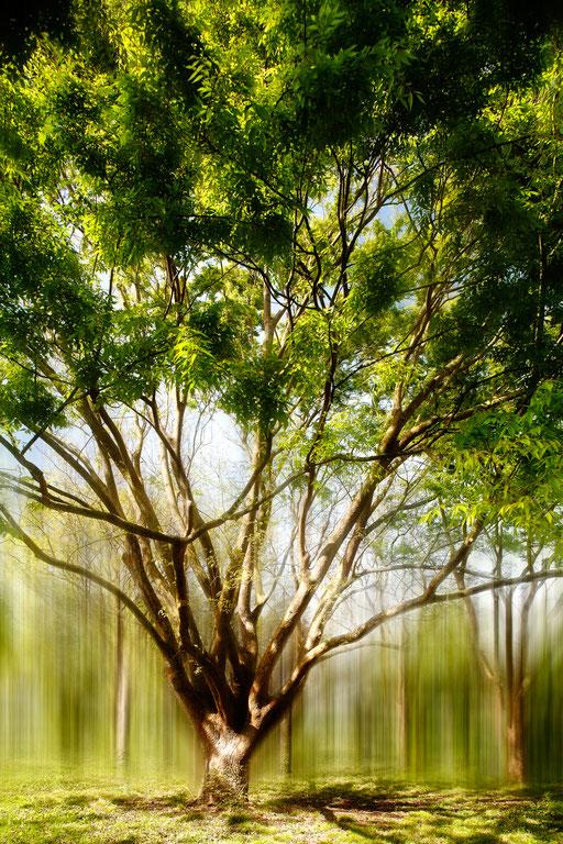 Orme du Caucase et du nord de l'Iran, Zelkova carpinifolia, Famille des Ulmacées. © Annick Maroussy