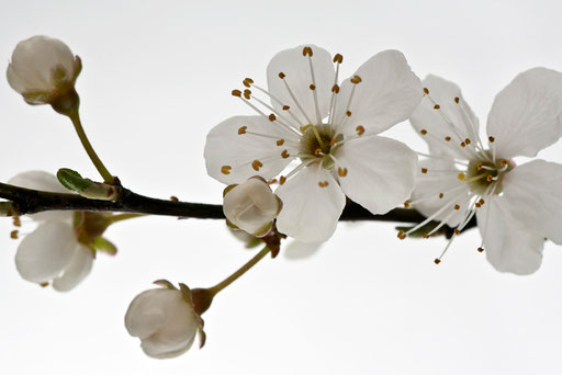 Fleurs de cerisier,  © Annick Maroussy