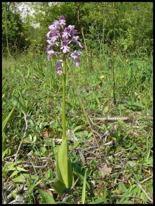 Orchis militaris Heurteauville (76) Le : 03-06-2007