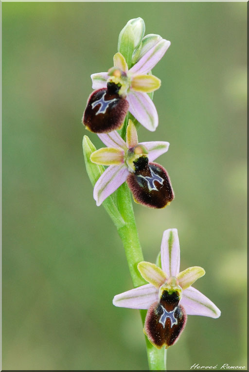 Ophrys splendida Le Muy (83) le 19 Avril 2015