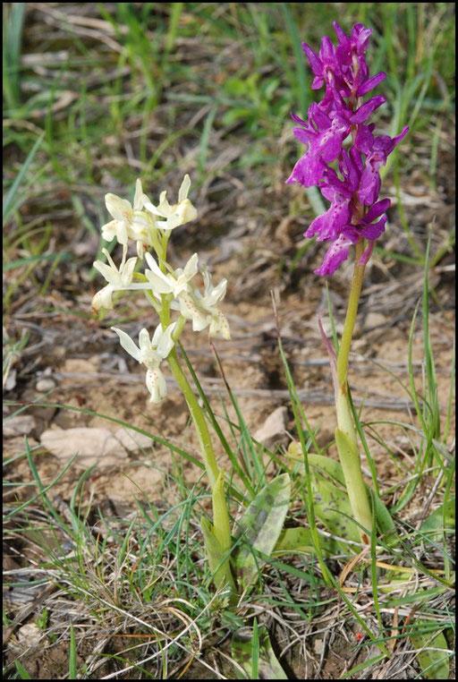 Orchis provincialis Bugarach (11) Le : 19-05-2009