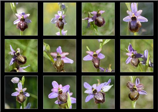 Ophrys aveyronensis Frayssinet (12) Le 25 05 2017