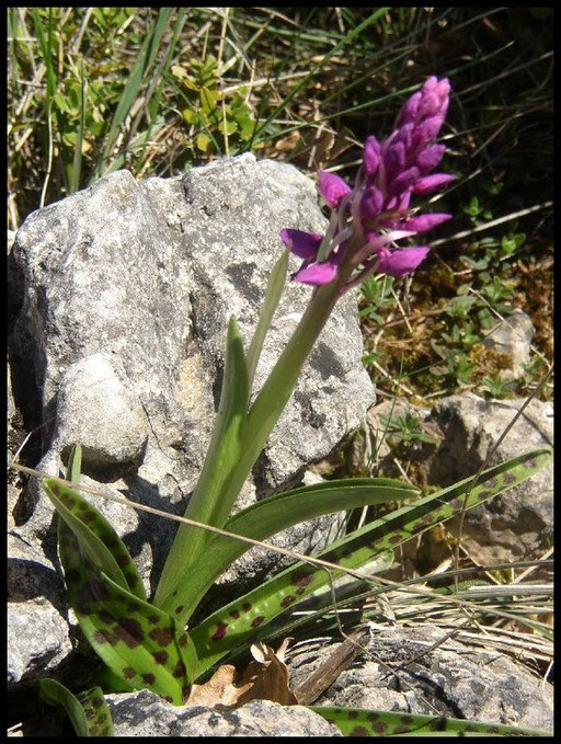 Orchis mascula Navacelles (34) Le : 25-04-2004