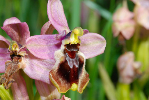 Ophrys tenthredinifera St Paul de Fenouillet (66) Le 21/04/2010
