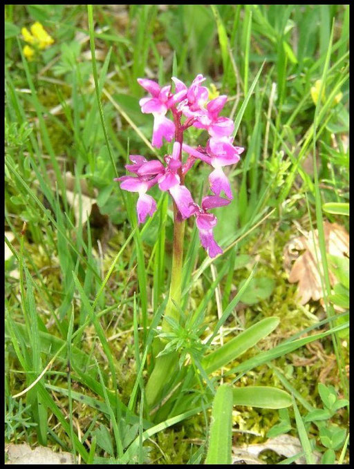 Orchis mascula Lapanouse de Cernon (12) Le : 20-05-2004
