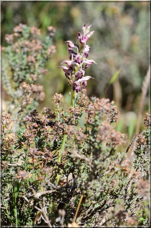 Anacamptis coriophora subsp fragans Sénas (13) le 20 Mai 2016