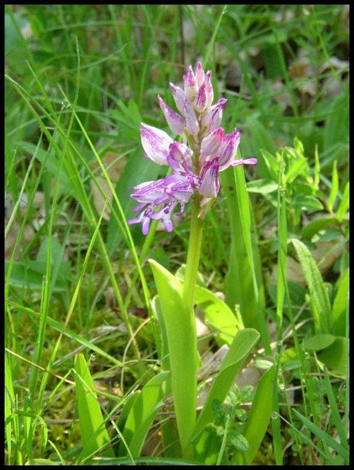 Orchis militaris Lapanouse de Cernon (12) Le : 20-05-2004