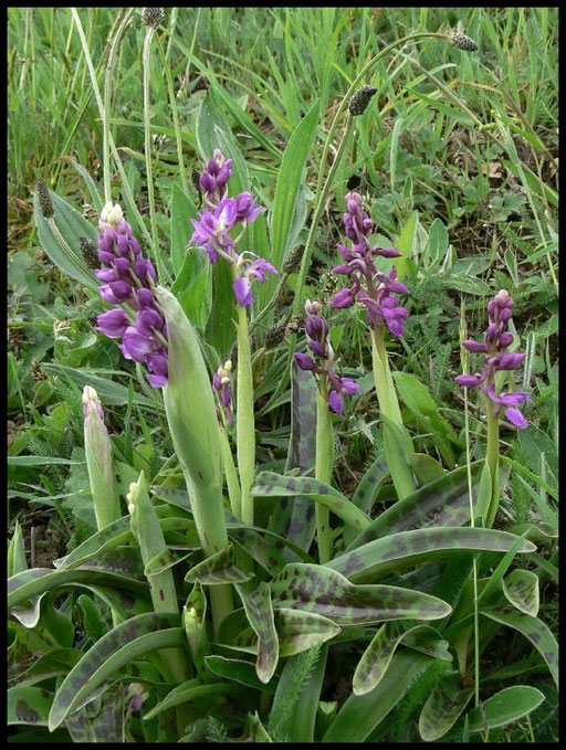 Orchis mascula Roullours (14) Le : 26-04-2006