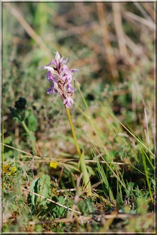 Neotinea lactea Garons (30) le 04 Avril 2015