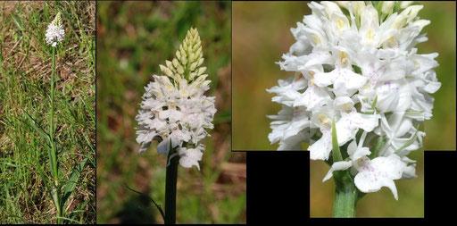 Dactylorhiza maculata St Louis (11) Le : 19-05-2009