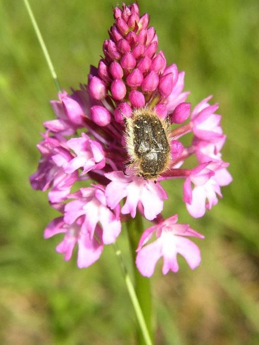 Anacamptis pyramidalis la Borie Noble (34) le : 27-05-2005