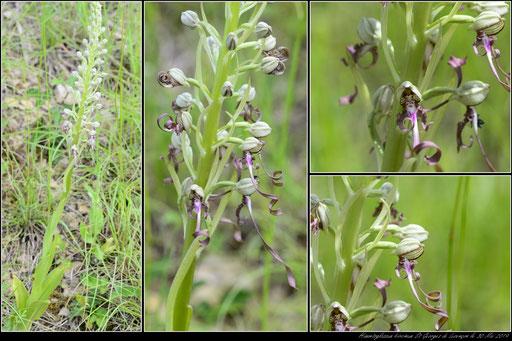 Himantoglossum hircinum St Georges de Luzençon (12) le 30 Mai 2019