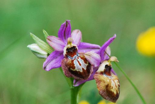 Ophrys aveyronensis Frayssinède (12) Le 24 Mai 2015