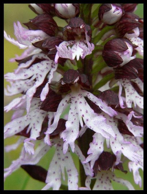 Orchis purpurea Monts d'Eraines (14) Le : 05-05-2006