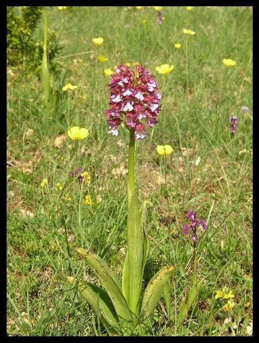 Orchis purpurea Lapanouse de Cernon (12) Le : 20-05-2004