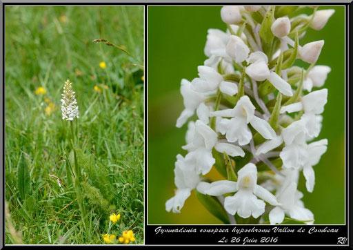 Gymnadenia conopsea hypochrome Vallon de Combeau (07) Le 26 Juin 2016