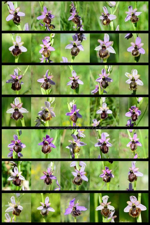 Planche variabilité Ophrys aveyronensis Lapanouse de cernon (12) le 30 Mai 2019