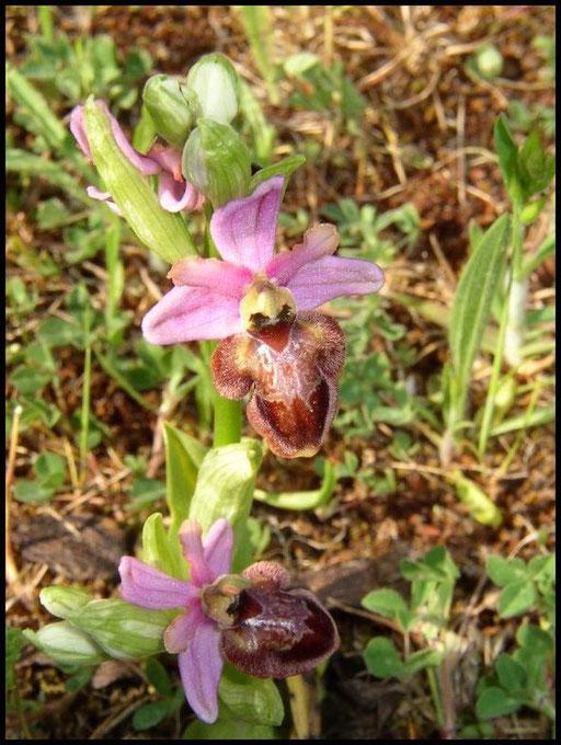 Ophrys aveyronensis Lapanouse de Cernon (12) Le : 20-04-2005
