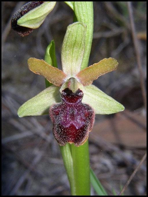 Ophrys passionis les Baux (13) Le : 10-04-2005