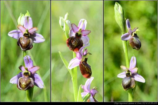 Ophrys aveyronensis Lapanouse de cernon (12) le 30 Mai 2019
