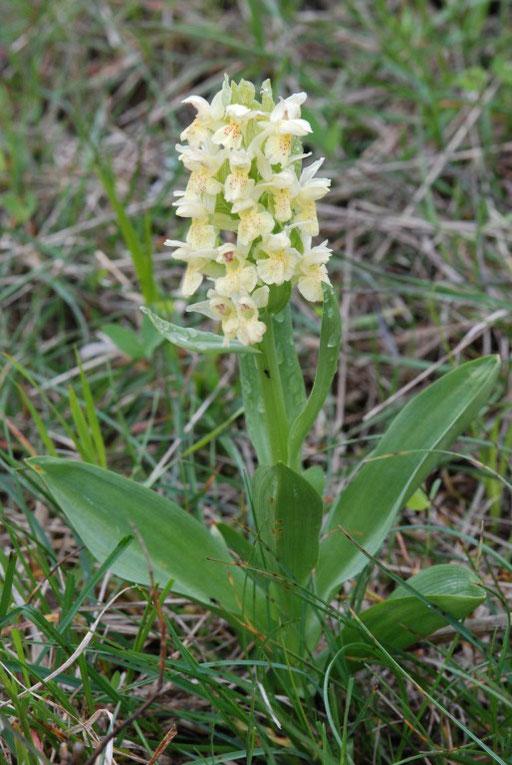 Dactylorhiza sambucina Col de Limouches (26) Le 13 Mai 2010
