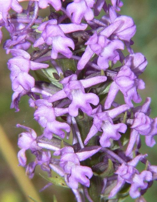 Gymnadenia conopsea Mont d'Eraines (14) le : 11-06-2006