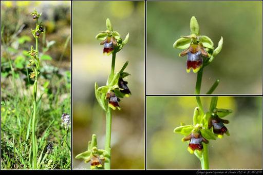 Ophrys aymoninii  Lapanouse de Cernon (12) le 30 Mai 2019