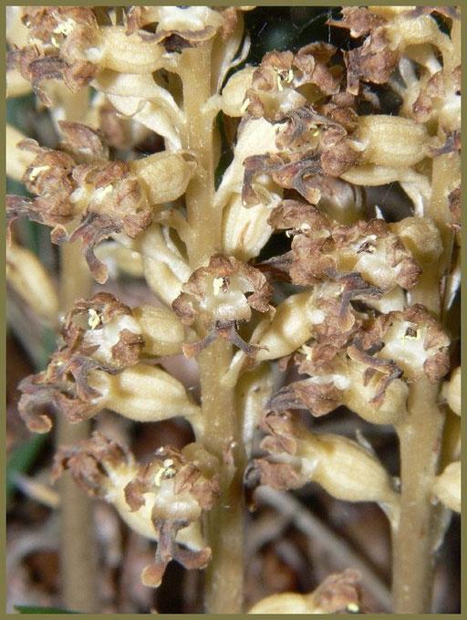 Neottia nidus avis Monts d'Eraines (14) Le : 11-06-2006