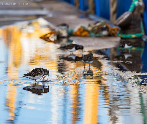 Ruddy Turnstones / Steinwälzer (Arenaria interpres) feeding on scraps around the fishing boats. | Vlissingen, 2.2.2018