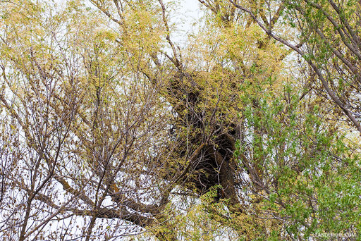 Seeadler / White-tailed Eagle (Haliaeetus albicilla) | Old multi-story nest. Kordon Damchik, Volga Delta/Russia, April 2017