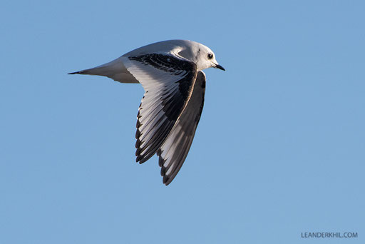 The star is back (for a couple of seconds): Ross's Gull / Rosenmöwe (Rodosthetia rosea) | Vlissingen, 2.2.2018