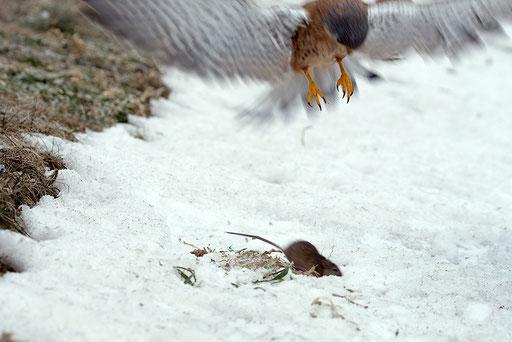 Turmfalke / Common Kestrel (Falco tinnunclus) | Jagendes Männchen