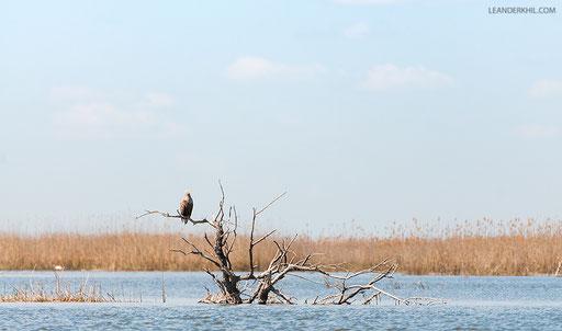 Seeadler / White-tailed Eagle (Haliaeetus albicilla)   Adult. Kordon Damchik, Volga Delta/Russia, April 2017