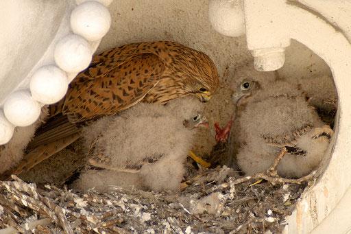 Turmfalke / Common Kestrel (Falco tinnunclus) | Weibchen füttert Junge