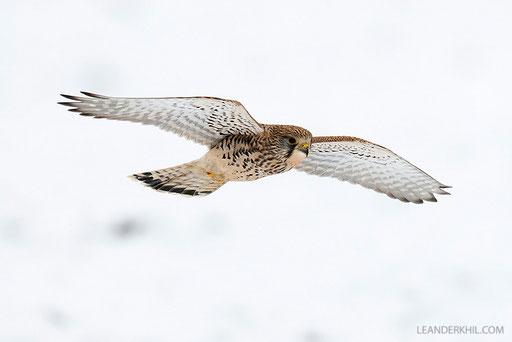 Turmfalke / Common Kestrel (Falco tinnunclus) | Jagendes Weibchen