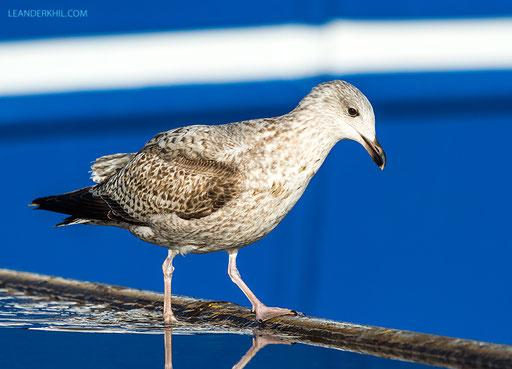 Herring Gull / Silbermöwe (Larus argentatus) | Vlissingen, 2.2.2018