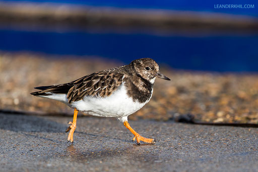 Ruddy Turnstone / Steinwälzer (Arenaria interpres) | Vlissingen, 2.2.2018