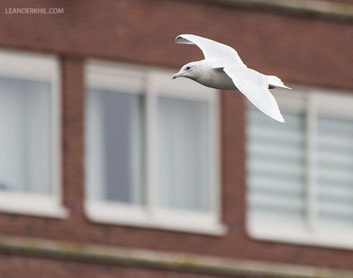 Iceland Gull / Polarmöwe (Larus glaucoides) | Amsterdam, 5. February 2018
