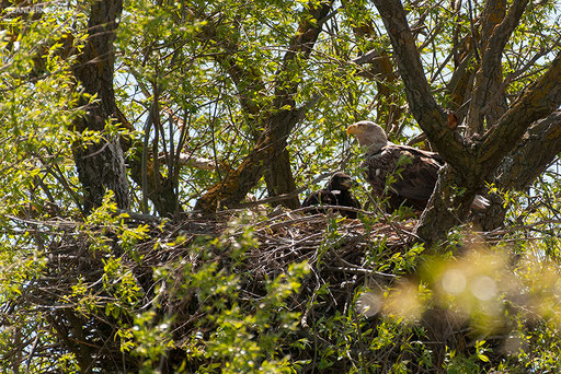 Seeadler / White-tailed Eagle (Haliaeetus albicilla) | Adult and big chick in the nest. Kordon Damchik, Volga Delta/Russia, April 2017