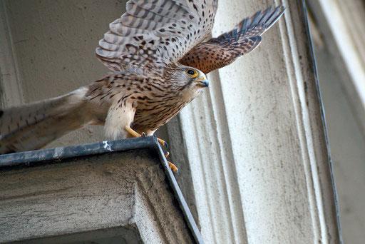 Turmfalke / Common Kestrel (Falco tinnunclus) | Abfliegendes Weibchen