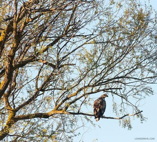 Seeadler / White-tailed Eagle (Haliaeetus albicilla) | 3 cy. Kordon Damchik, Volga Delta/Russia, April 2017