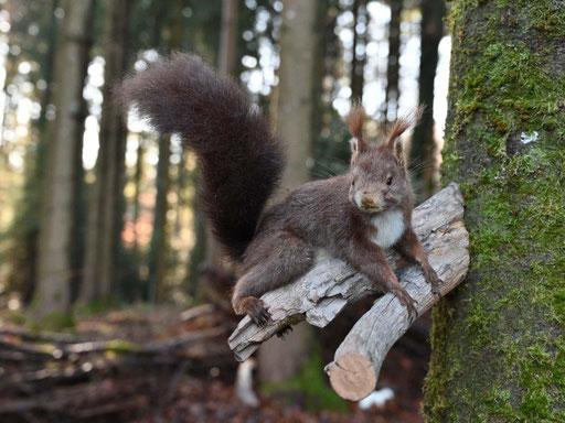 Eichhörnchen (Präparat)