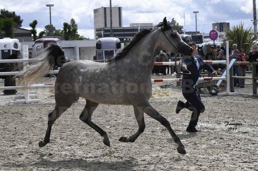 """Concours international de chevaux ARABES - """"Arabian Masters"""" Bordeaux 2017 - 5"""