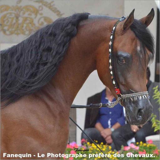 Concours Modèles & Allures chevaux Arabes