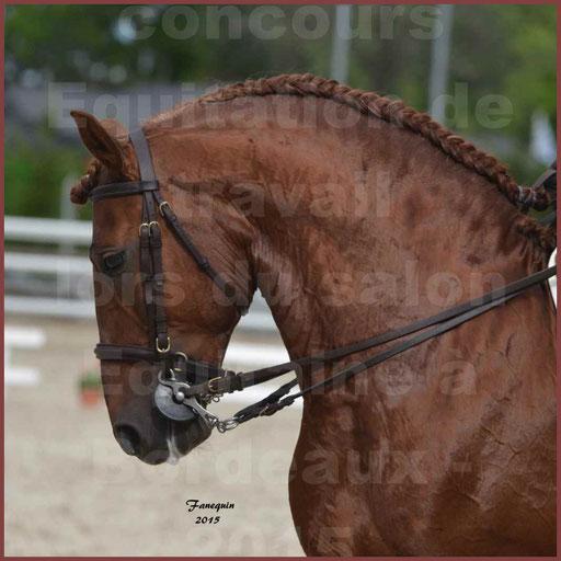 Portraits de chevaux Lusitaniens lors d'un concours d'Equitation de travail de chevaux Lusitaniens